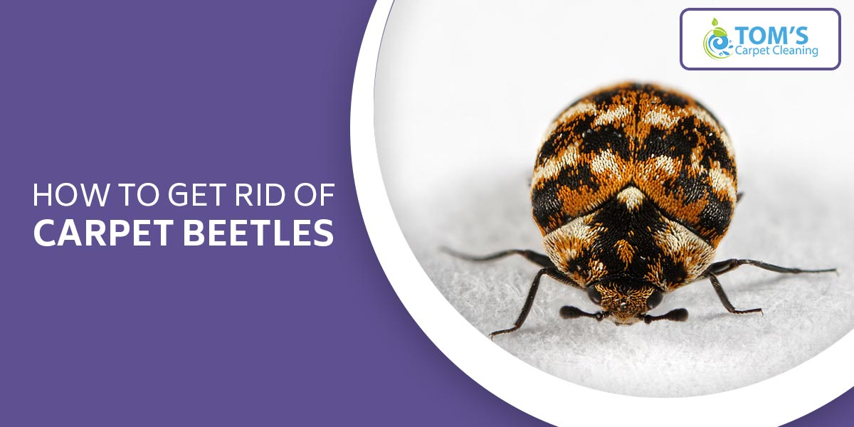 How To Get Rid Of Carpet Beetles?